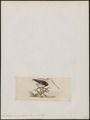 Cladorhynchus pectoralis - 1820-1860 - Print - Iconographia Zoologica - Special Collections University of Amsterdam - UBA01 IZ17400177.tif