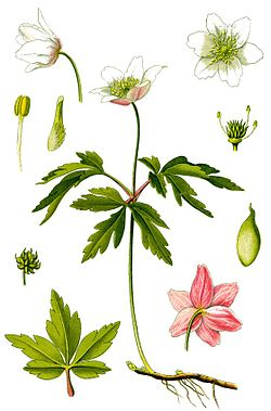 Cleaned-Illustration Anemone nemorosa.jpg
