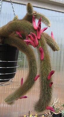 Cleistocactus vulpis-cauda 01.jpg