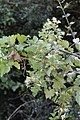 Clematis brachiata (Ranunculaceae) (6786056568).jpg