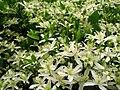 Clematis terniflora1audreyjm529.jpg