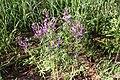 Cleome elegantissima-2498 - Flickr - Ragnhild & Neil Crawford.jpg
