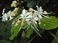 Clerodendrum infortunatum flowers 02.JPG