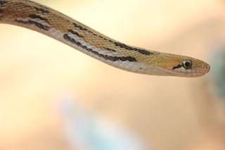 Trinket snake species of reptile