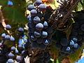 Close up of Grenache grape cluster.jpg