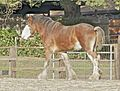 Clydesdale4.jpg