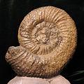 Cobbanites talkeetnanus SR EA 08-01-01.jpg
