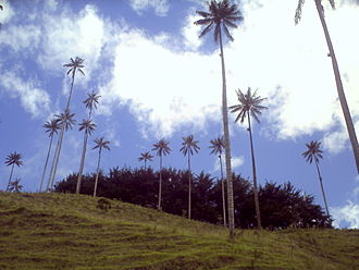 Cocora Valley - Wax palms