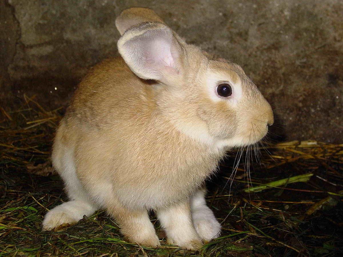 Vitesse de lapin datant