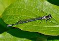 Coenagrion puella qtl1.jpg