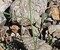 Coincya monensis stem (1).jpg