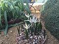 Colchicum soboliferum 05.jpg