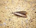 Coleophora sp to be gen det (35337589885).jpg