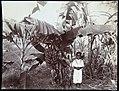 Collectie Nationaal Museum van Wereldculturen TM-60062264 Jongen bij tros bananen hangend aan een boom Jamaica A. Duperly & Sons (Fotostudio).jpg
