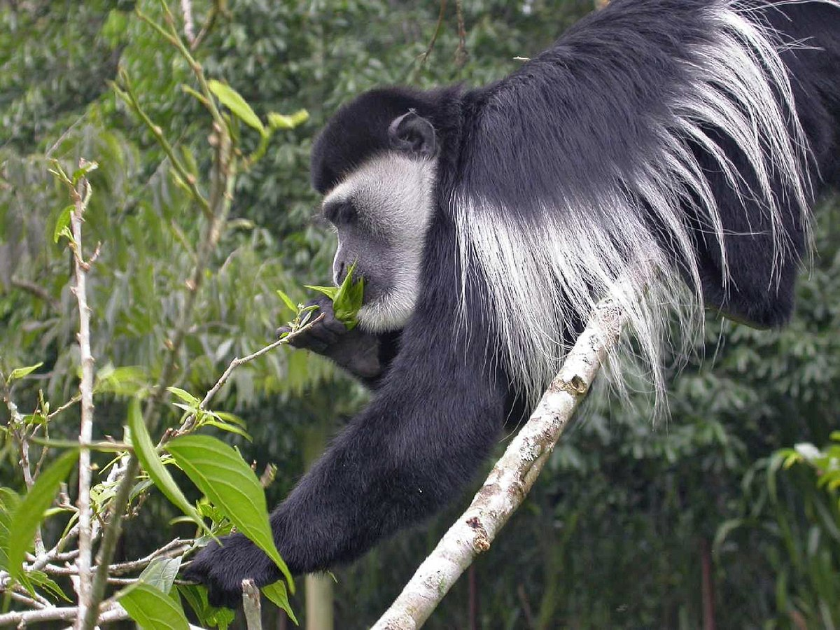 black and white colobus wikipedia