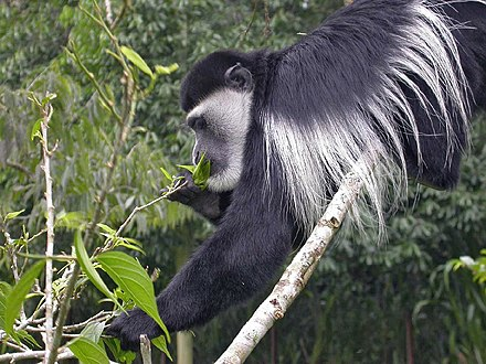 Leaf eating mantled guereza, a species of black-and-white colobus Colubusmonkey.JPG