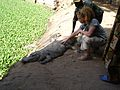 Come and stroke the overfed croc (316661279).jpg