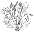 Common English grasses (OAW).png