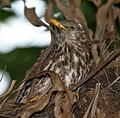 Common Hawk Cuckoo I2 IMG 0801.jpg
