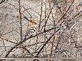 Common Hoopoe (Upupa epops) (33847385202).jpg