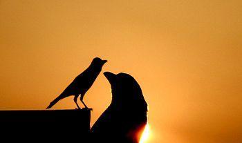 Common Indian crow.jpg