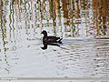 Common Moorhen (Gallinula chloropus) (15893567175).jpg