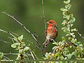 Common Rosefinch (Carpodacus erythrinus) (28962367442).jpg