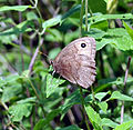 Common Wood-Nymph (Cercyonis pegala) (6009865520).jpg