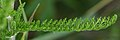 Common Yarrow (Achillea millefolium) - Kitchener, Ontario 01.jpg