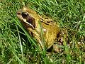 Common frog3.JPG