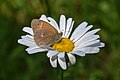 Common ringlet on an ox-eye daisy.jpg