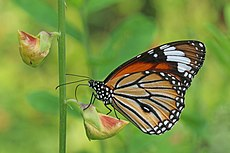 Common tiger (Danaus genutia genutia) male underside.jpg