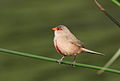 Common waxbill, Estrilda astrild, at Rietvlei Nature Reserve, Gauteng, South Africa (22774093102).jpg
