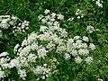 Conium maculatum inflorescence (01).jpg