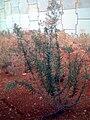 Conyza bonariensis Plant Habitus CampodeCalatrava.jpg