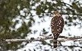 Cooper's Hawk - Flickr - Fyn Kynd.jpg
