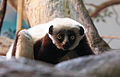 Coquerels Sifaka at the Cinci Zoo.jpg
