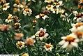 Coreopsis auriculata Snowberry 3zz.jpg