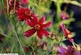 Coreopsis rosea Limerock Ruby 1zz.jpg