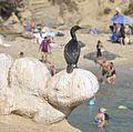 Cormorants at La Jolla Cave - 09.jpg