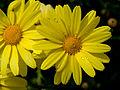 Corn Marigold (Glebionis segetum).jpg