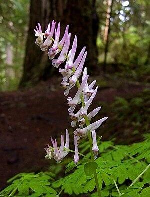 Corydalis scouleri
