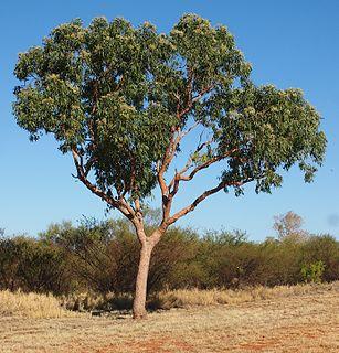 <i>Corymbia terminalis</i> species of plant
