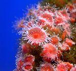 Коралл Corynactis californica