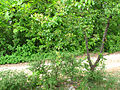 Costigiola-ciliegio canino-5.jpg