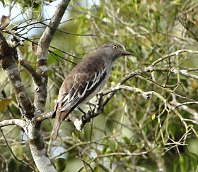 Cotinga punicea - Pompadour cotinga (female).JPG