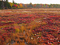 Cotton-grass-bog-dolly-sods - West Virginia - ForestWander.jpg