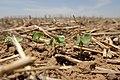 Cotton seedlings protected by grain sorghum stubble near Lubbock, Texas. (24486444654).jpg