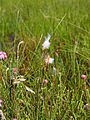 Cottongras. Drents-Friesewold.JPG