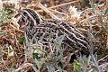 Coturnix pectoralis South Australia.jpg